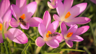 Insects in the Cyclamen