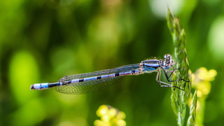 Blue Damselfly resting