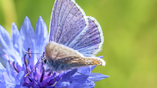 Common Blue in a Cornflower