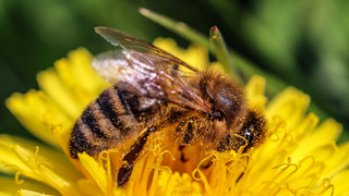 Honey Bee Macro