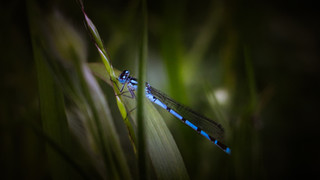 Spotlight on Damselfly