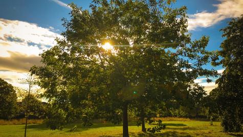Shameless Sun Tree