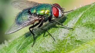 Green Fly 2
