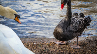 Mute & Black Swans