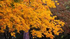 04/10/2018 - Autumn Yellows