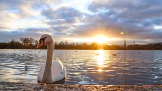 Swan at Kensington Gardens