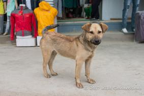 Home Street Home 誰家的毛孩 Nepal Community Dog TNR Project尼泊爾社區狗隻絕育計畫