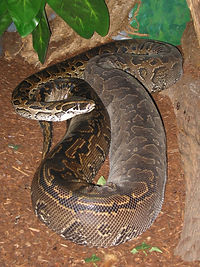 Adult_Female_Python_sebae_1.33aspect.jpg