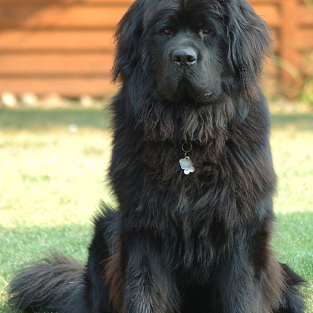 Smoky the Newfoundland Dog
