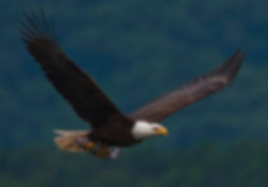 2010-bald-eagle-with-fish.jpg