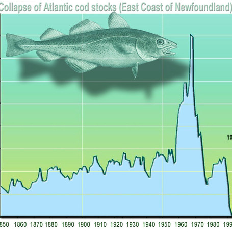 Collapse of Atlantic cod stocks