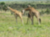 Rothschild_giraffe_in_Murchison_Falls_Na