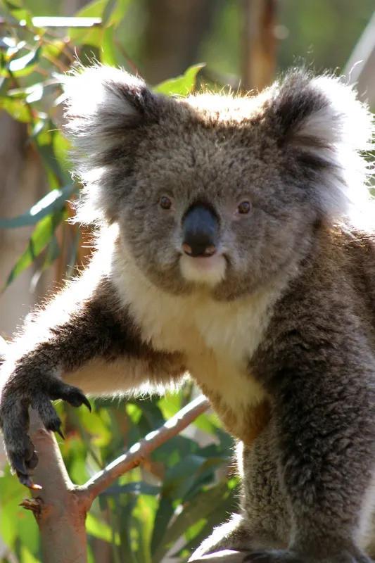 Kennett River Koala on the Great Ocean Road Tour from Geelong.