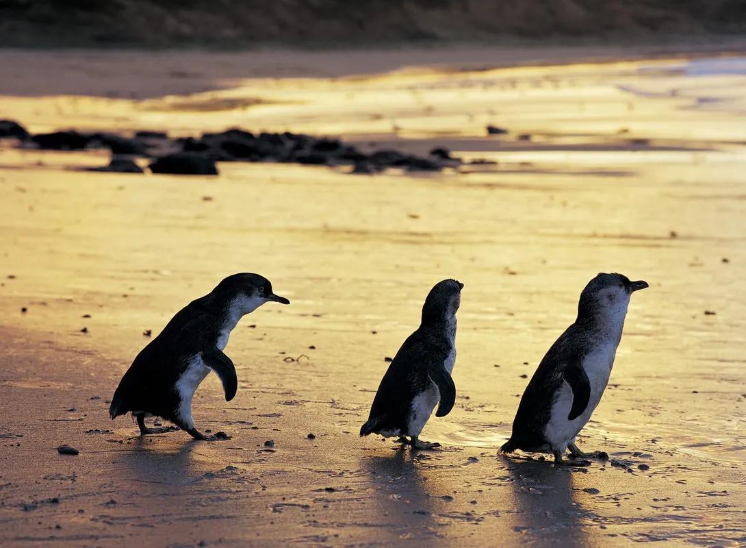 Fairy Penguins!
