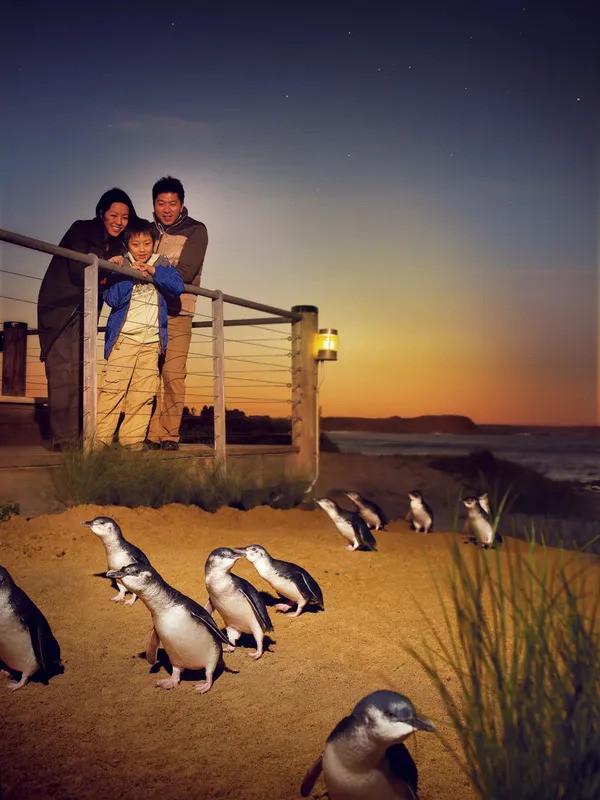 Phillip Island Penguins private group tours.