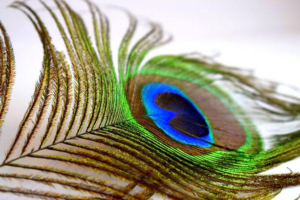 peacock-5202751.jpg