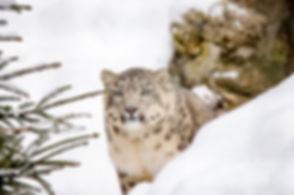 snow-leopard-1985510_1920.jpg