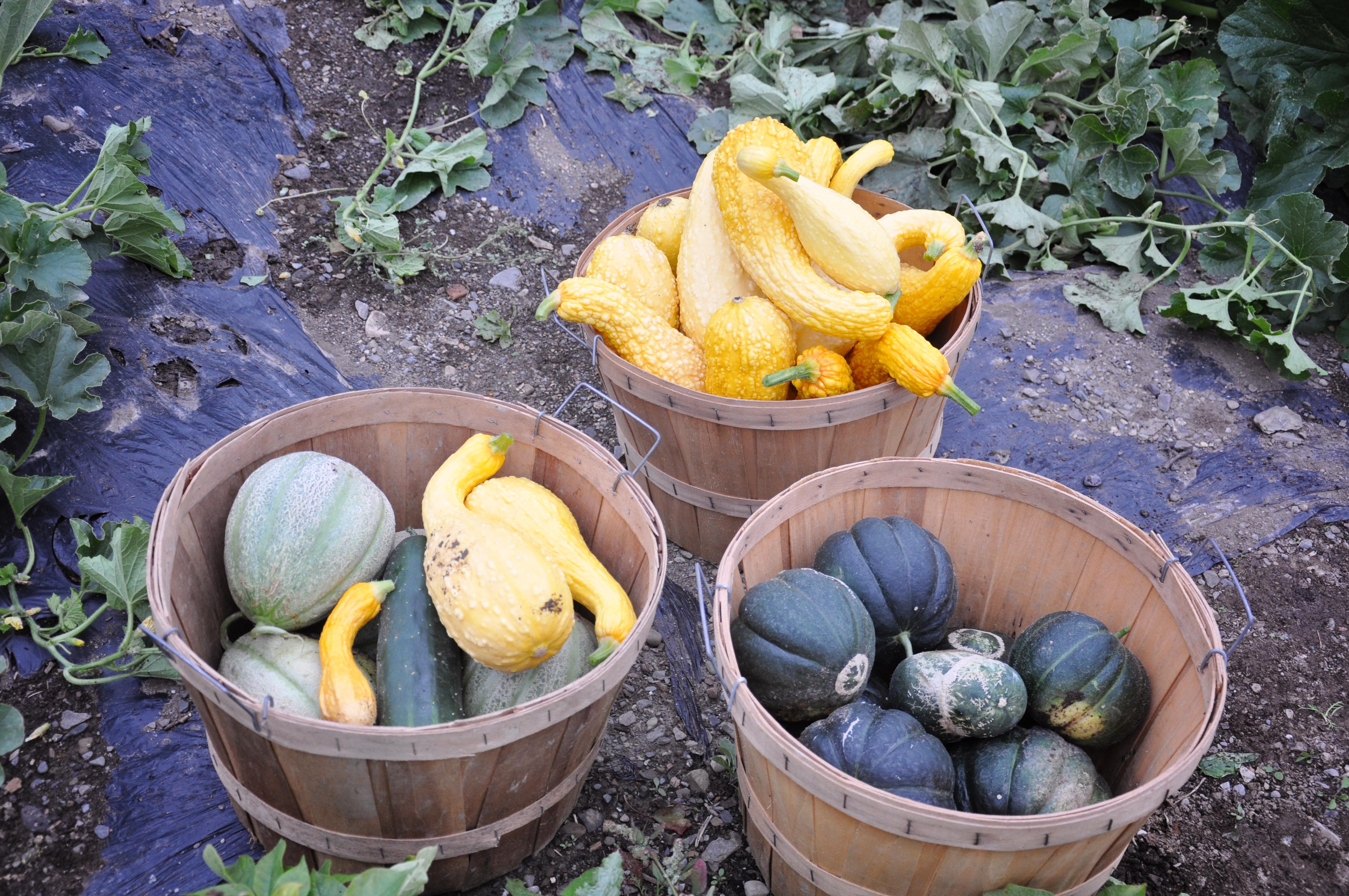 Melon Noir des Carmes