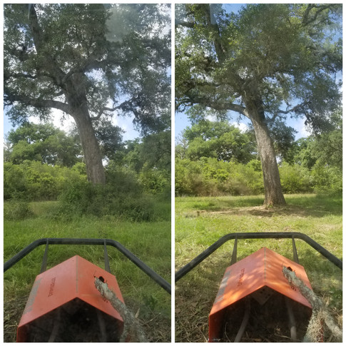 Clearing Around Live Oak Trees Before/After