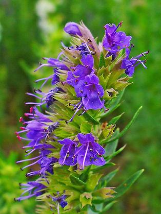 Hyssopus_officinalis_005.JPG