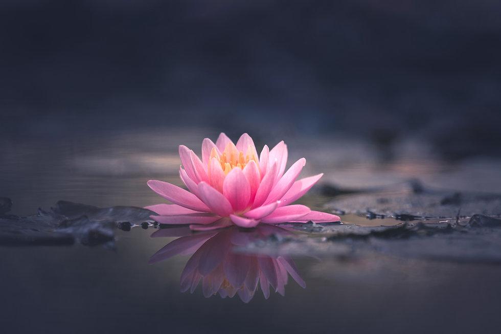 pink waterlily or lotus flower in pond.j