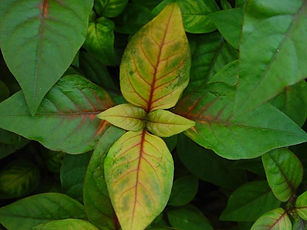 when to fertilize yellowing leaves.jpg