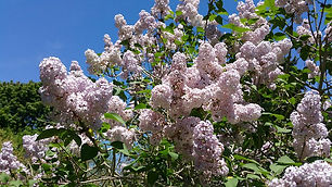 clone lilacs.jpg