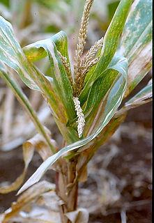 fighting disease-virus-maize dwarf mosai