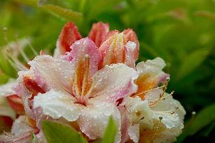 wetting agent- rhodendendron.jpg
