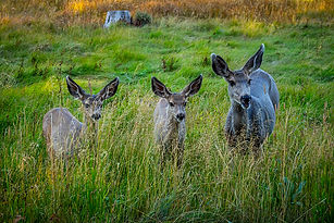 deer 3- group.jpg