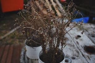 avoid this- dead plant.jpeg