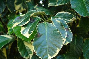 fighting disease-bacteria-leaf blight.jp