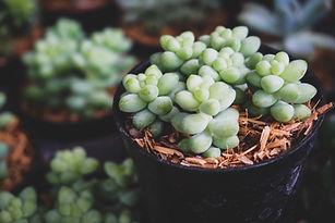cloning lilac- succulent.jpg