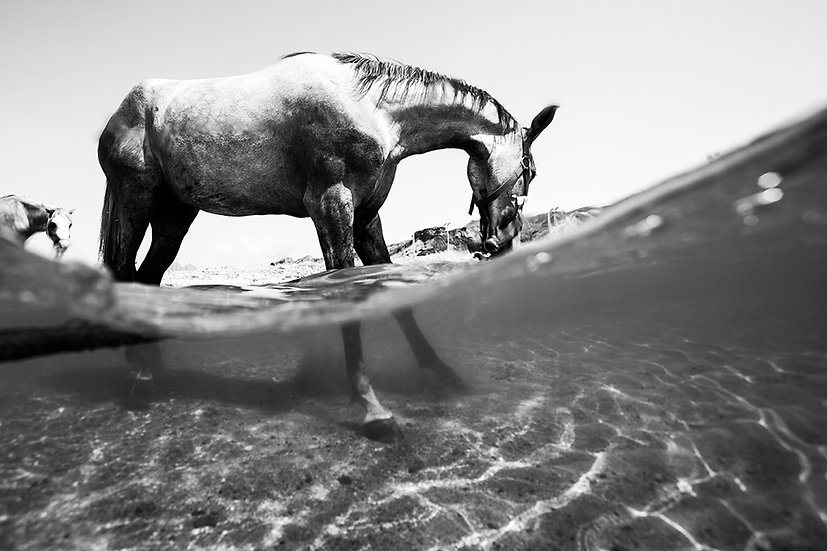 Arabian Horse #1 - Ras Abu Galum