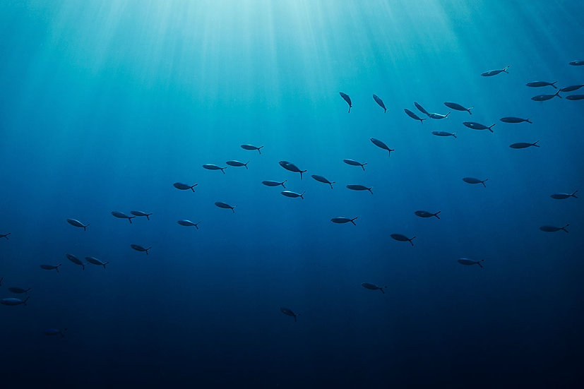 Shoal of Fusilier Fish - Red Sea