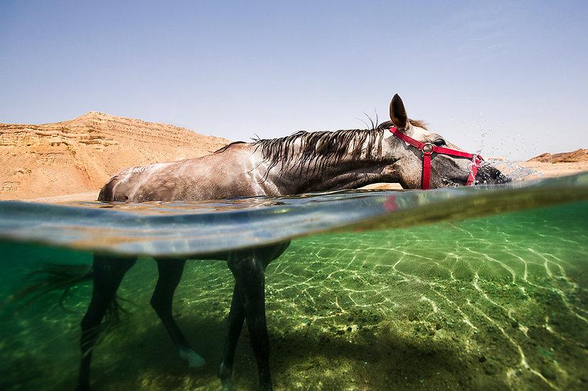 Arabian Horse #2 - Ras Abu Galum