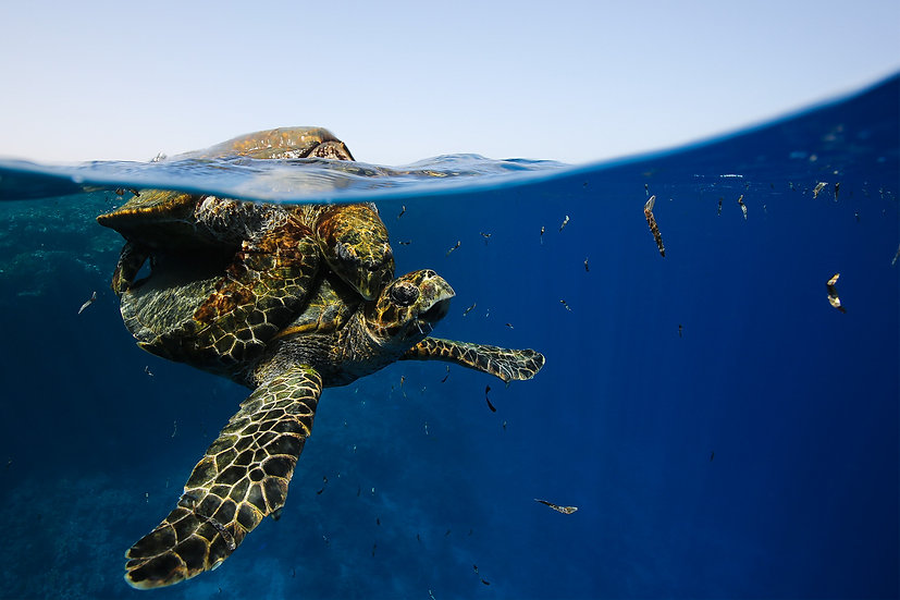 Turtles in Love - Red Sea