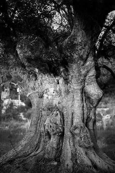 Millenium Olive Tree #2- Salento