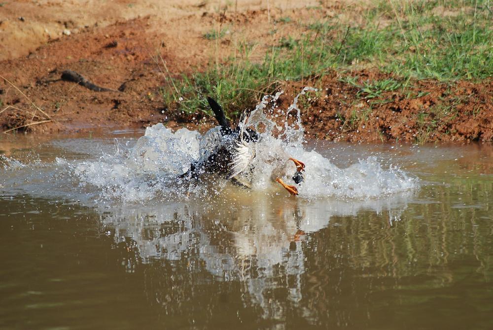 Black Labrador Retriever | Duck Hunting | Water | Mallard Duck