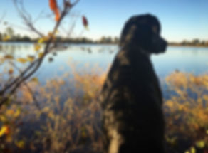 Black Labrador | Duck Hunting | Mallards | Decoys | Lake
