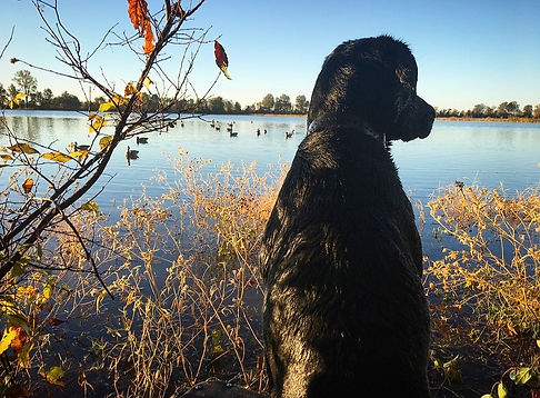 Black Labrador | Duck Hunting | Mallards | Decoys | Lake