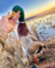Duck Hunting | Mallard | Green Head | Dead Bird | Duck Calls | Flooded Field