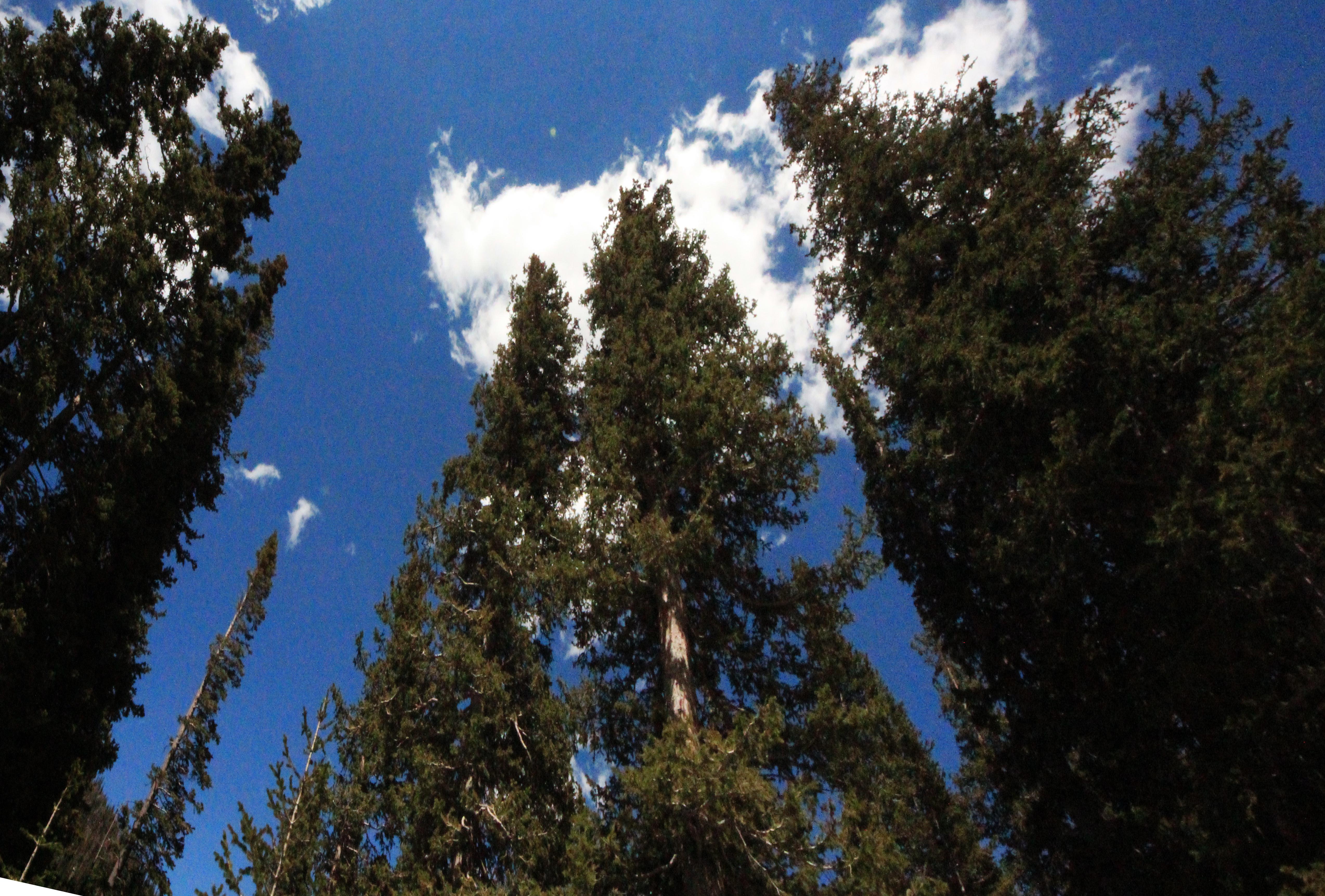 Colrado-Rocky Mtn Natl ParkTREES PERSPECTINE HIGH RES