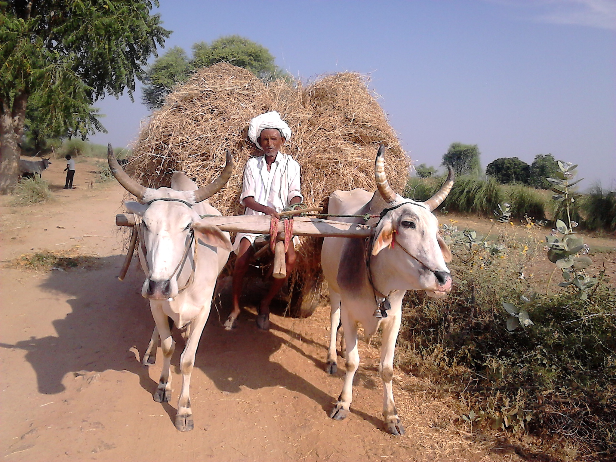 A Farmer carrying dry fodder