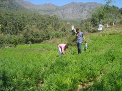 Cultivation2.JPG