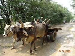 A woman riding the bullock cart.JPG