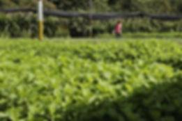 Organoponico Vivero Alamar grows dozens