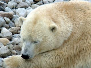שנת הדוב