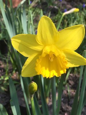 Daffodil Chris.jpg