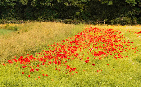 canal poppies.jpg